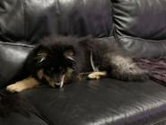 Sookie de la Perle de Laponie, 5 mois