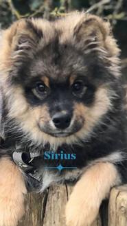 Sirius de La Perle de Laponie