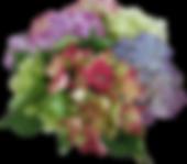 hydrangea-2072752__340.png
