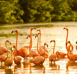 Necker Island Flamingos