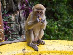 Kuala Lumpur Monkeys