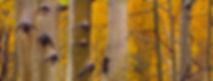 Kebler pass aspen trunck 3 horizontal.jp