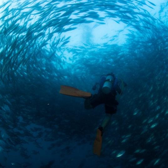 School of fish in Tachai Pinnacle
