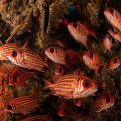School of red snappers