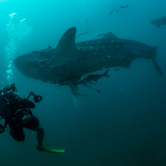Whale shark in Myanmar