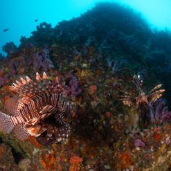 Lion fishes at Richelieu Rock