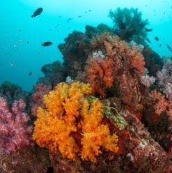 Soft coral in North Rock Myanmar