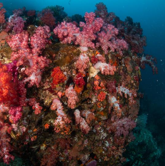 Soft coral at Richelieu rock