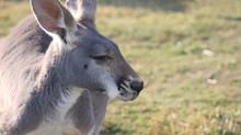 Junebug - Red Kangaroo (Macropus rufus)