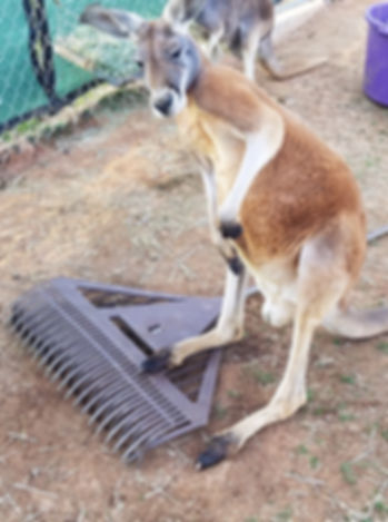 a red kangaroo standing next to his keepers rake