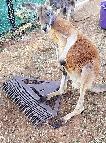 a red kangaroo standing next to his keepers rake