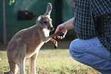 A young kangaroo shaking hands with a visitor