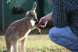 A red kangaroo joey shakes hands with a visitor in Germantown, Maryland