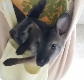 A baby wallaby hangs in his comfy pouch