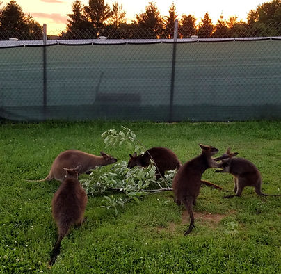 A group of wallabies eating a branch