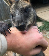 a man holding a baby wallaby