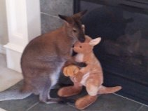 An adult wallaby hugs his favorite stuffed toy