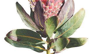Protea magnifica detail.png