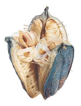 Cardiocrinum gigantium 765 x1000.jpg