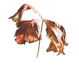 Rogersia podophylla.png