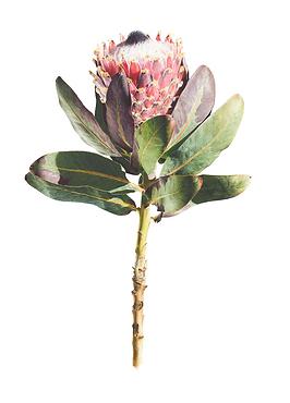 Protea magnifica.png