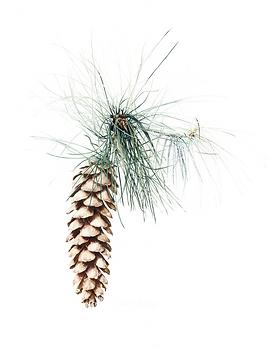 Pinus wallichiana.png