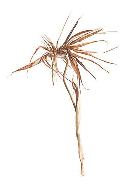 Strelitzia reginae.png
