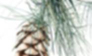 Pinus wallichiana detail.png