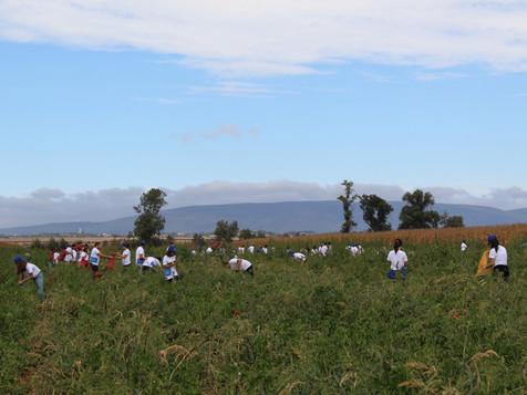 200 Voluntários da KPMG colhem 4.2 t de Pimentos