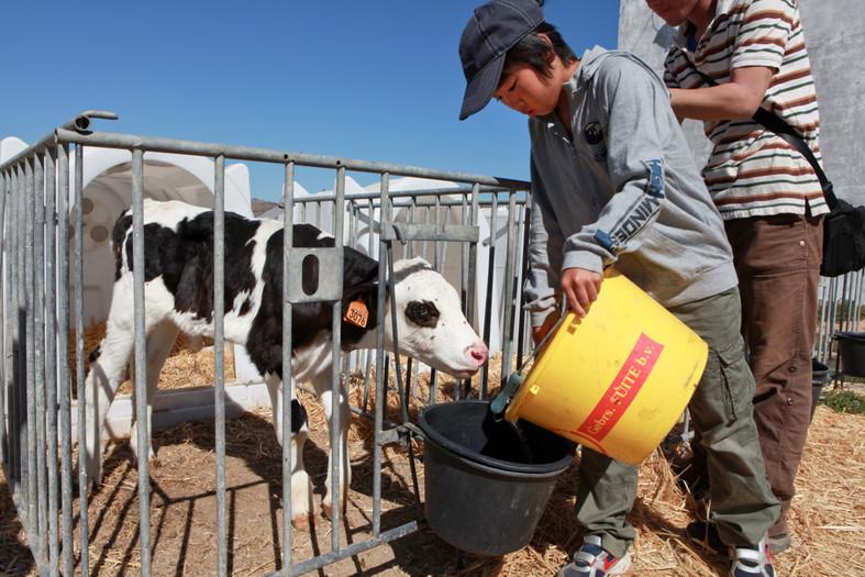 Nobuaki Watanabe, 12 anni, dà l'acqua alla mucca in una fattoria della campagna di Idana-a-Nova.