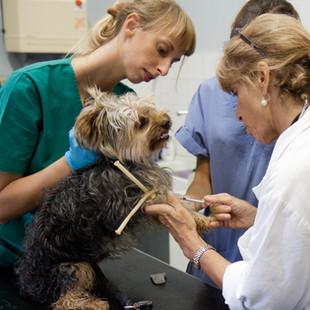 Fiocco, yorkshire Terrier è appena stato identificato, le veterinarie fanno un controllo e una vaccinazione.