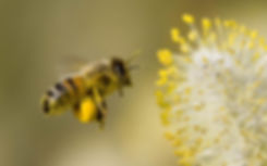 bee image with pollen.jpg