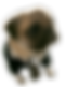 Pug%20in%20suit_edited.png