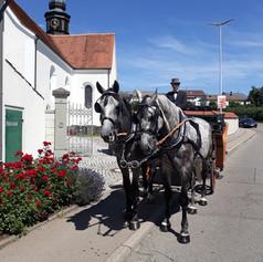 Polnische Warmblüter an der Hochzeitskutsche