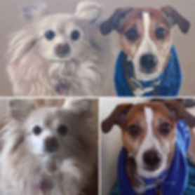 Rolo, Nellie, Jack Russell, PomChi, Portrait, Sammy Photiou-Wood