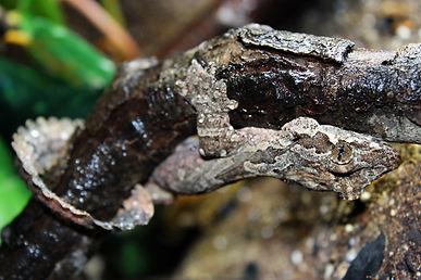 gecko, reptile, amphibian, flying gecko