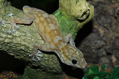 Ptydactylus ragazzi