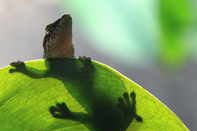 gecko, reptile, amphibian, mourning gecko