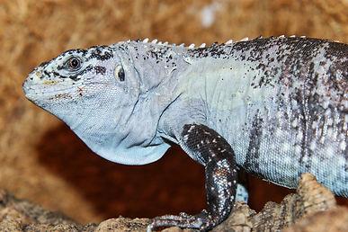 Ctenosaura bakeri, Utila spiny tail iguana