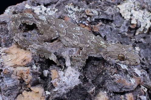 Flying gecko- Gekko cicakterbang (Ptychozoon lionotum)