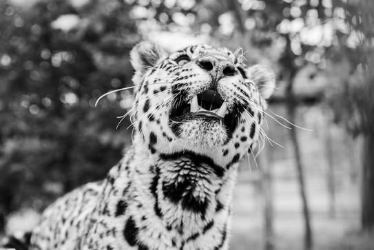 Sophia BIG CAT SANTUARY