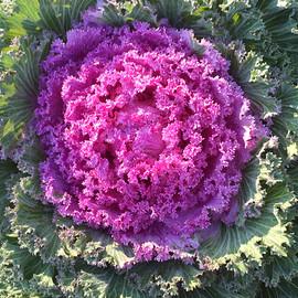 Flowering Cabbage.jpg