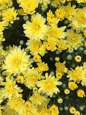 Yellow Mum.jpg