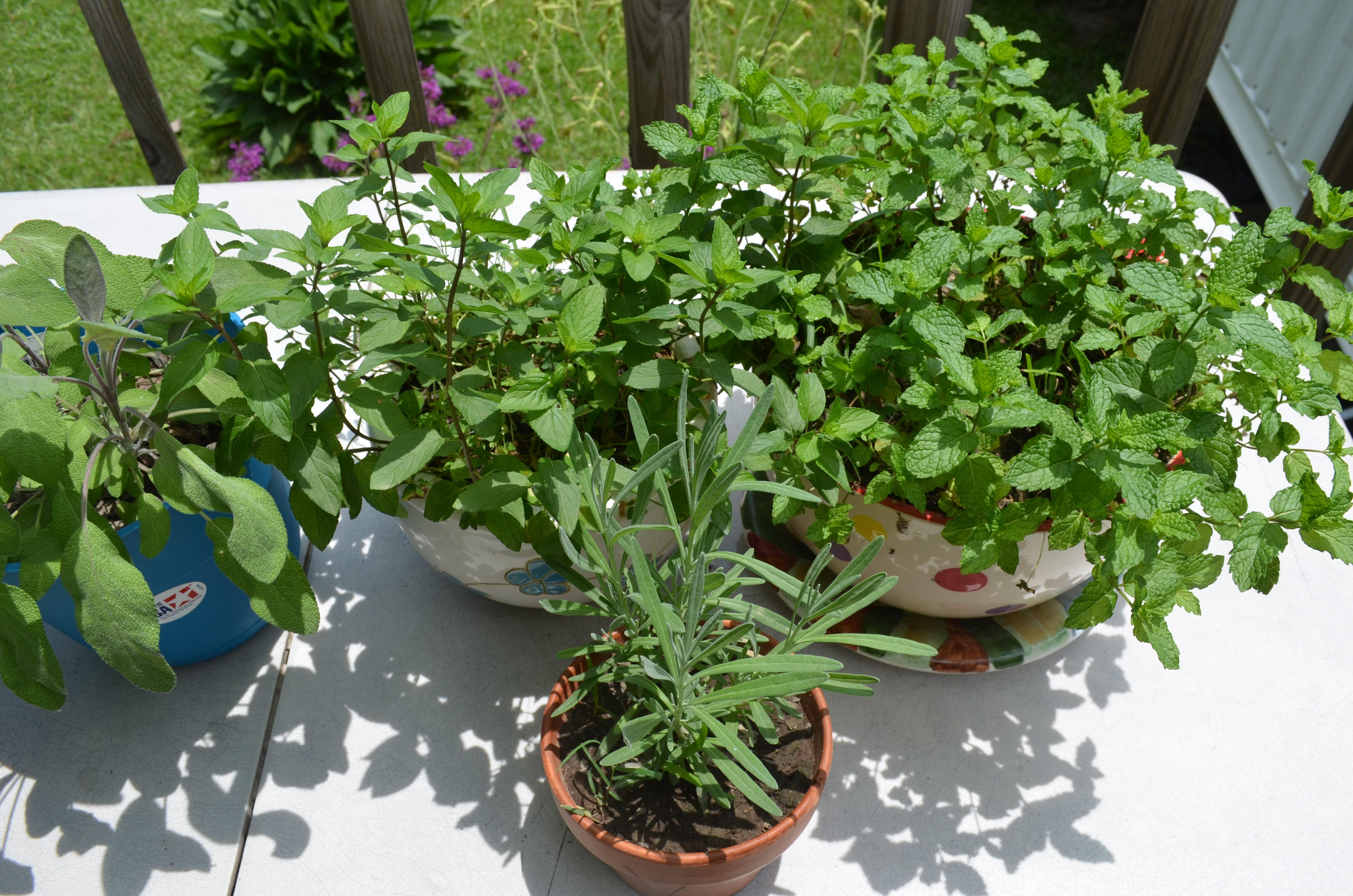 Sage,Spearmint,Peppermint & Lavender