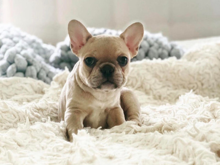 Meet the Micro French Bulldog