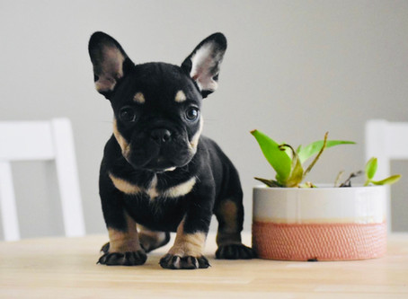 How to Stop Your Frenchie's Excessive Chewing