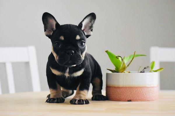 french bulldog houston austin san antoni