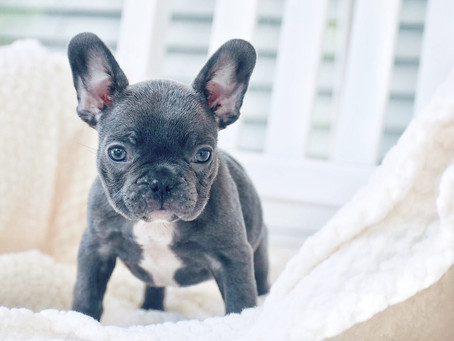 Reputable French Bulldog Breeder