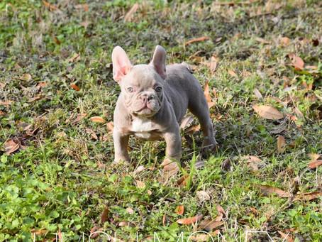 Hush Money, Isabella French Bulldog