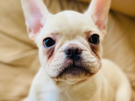 ADOPTED**Charlie the Cream French Bulldog